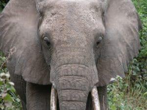 elephant vanishjes